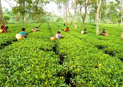 Recoltare productie ceai